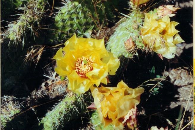 Helfrick Cactus