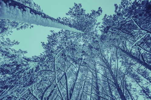Vintage frame from tall trees covered with snow
